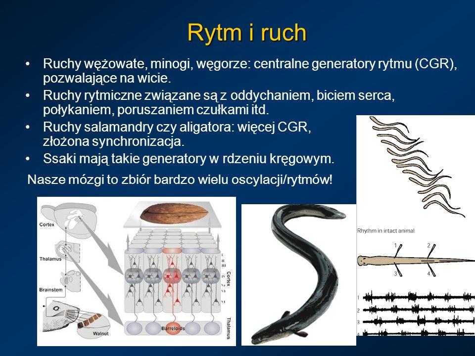 Rytm i ruch Ruchy wężowate, minogi, węgorze: centralne generatory rytmu (CGR), pozwalające na wicie. Ruchy rytmiczne związane są z oddychaniem, biciem