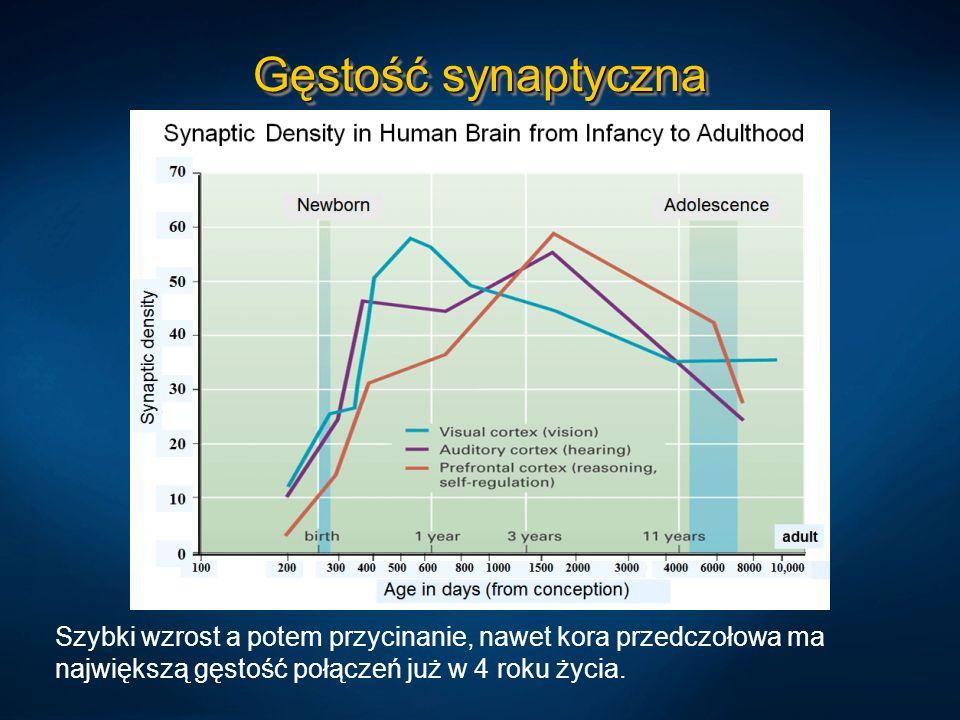 Gęstość synaptyczna Szybki wzrost a potem przycinanie, nawet kora przedczołowa ma największą gęstość połączeń już w 4 roku życia.