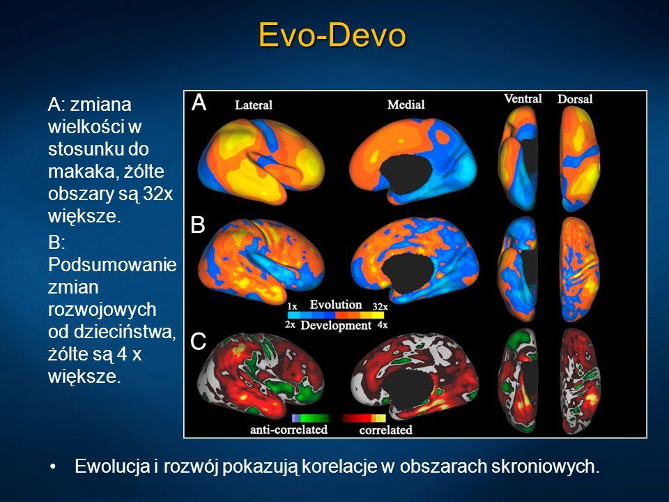 Evo-Devo Ewolucja i rozwój pokazują korelacje w obszarach skroniowych. A: zmiana wielkości w stosunku do makaka, żólte obszary są 32x większe. B: Pods
