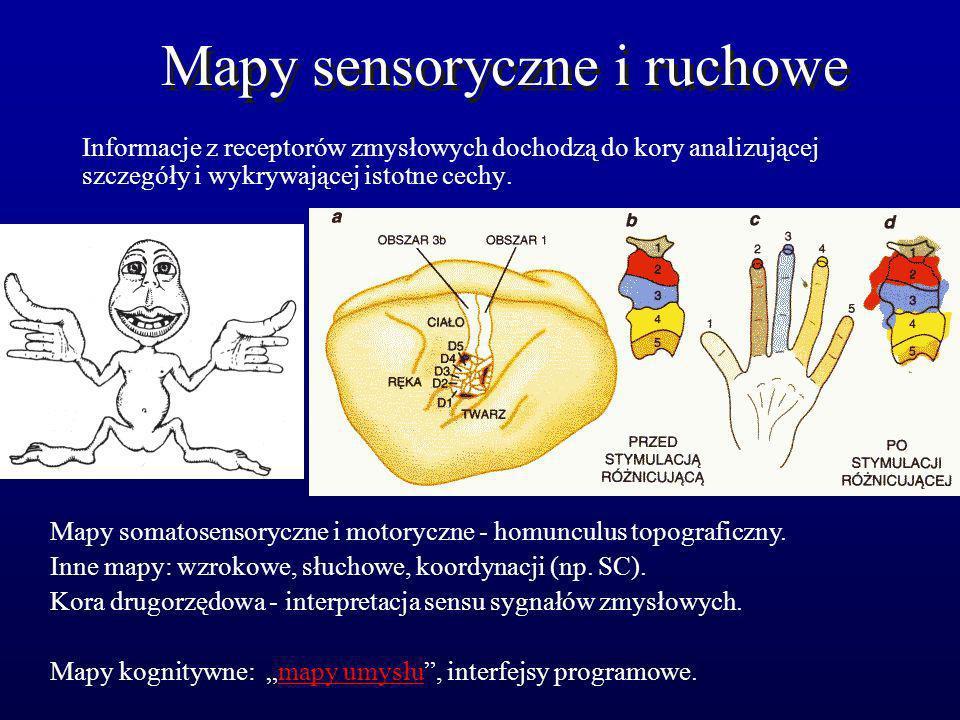 Mapy sensoryczne i ruchowe Informacje z receptorów zmysłowych dochodzą do kory analizującej szczegóły i wykrywającej istotne cechy. Mapy somatosensory