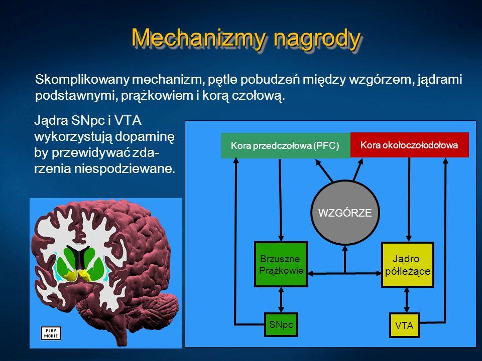 Mechanizmy nagrody Skomplikowany mechanizm, pętle pobudzeń między wzgórzem, jądrami podstawnymi, prążkowiem i korą czołową. Kora przedczołowa (PFC) Br