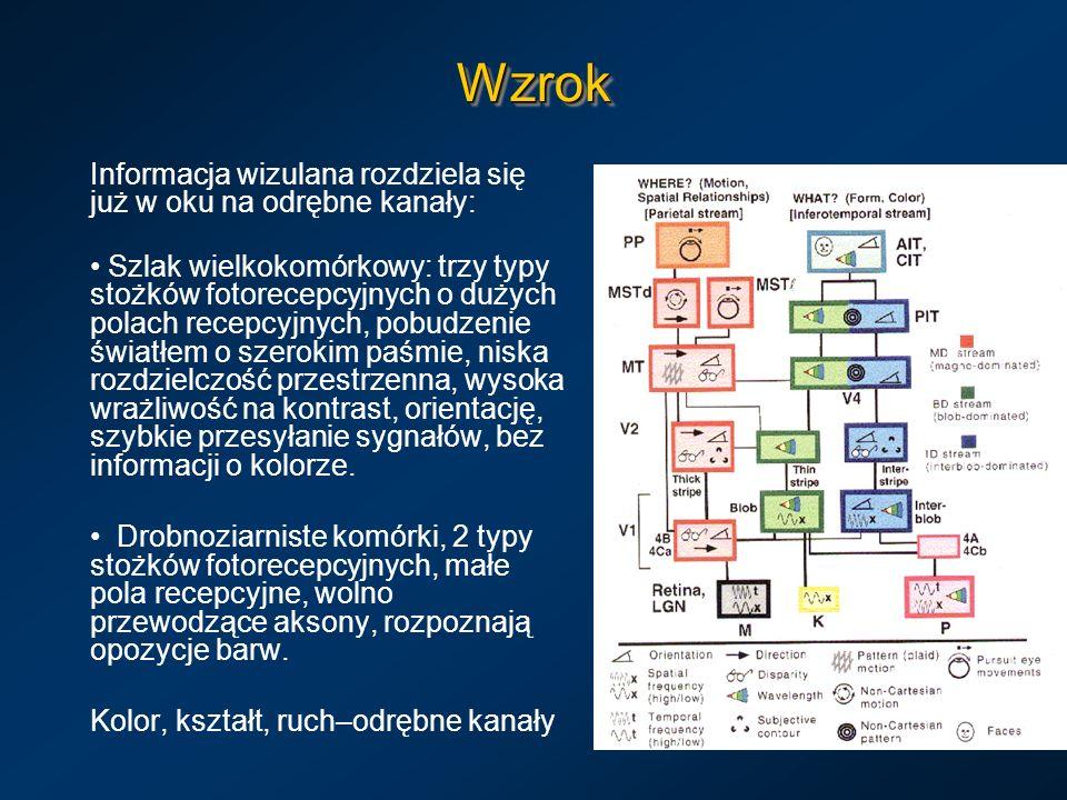 WzrokWzrok Informacja wizulana rozdziela się już w oku na odrębne kanały: Szlak wielkokomórkowy: trzy typy stożków fotorecepcyjnych o dużych polach re