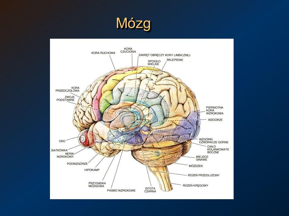 MózgMózg