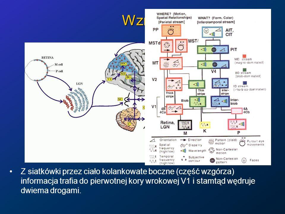Wzrok Z siatkówki przez ciało kolankowate boczne (część wzgórza) informacja trafia do pierwotnej kory wrokowej V1 i stamtąd wędruje dwiema drogami.