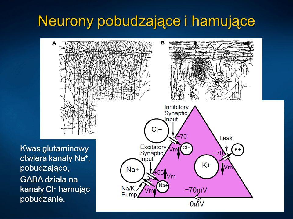 Pamięć i kreatywność Mózgi osób kreatywnych reagują na więcej sygnałów dochodzących ze środowiska, nie blokują mocno sygnałów, które wcześniej były nieistotne, nie ulegając łatwo habituacji (Carson, 2003).