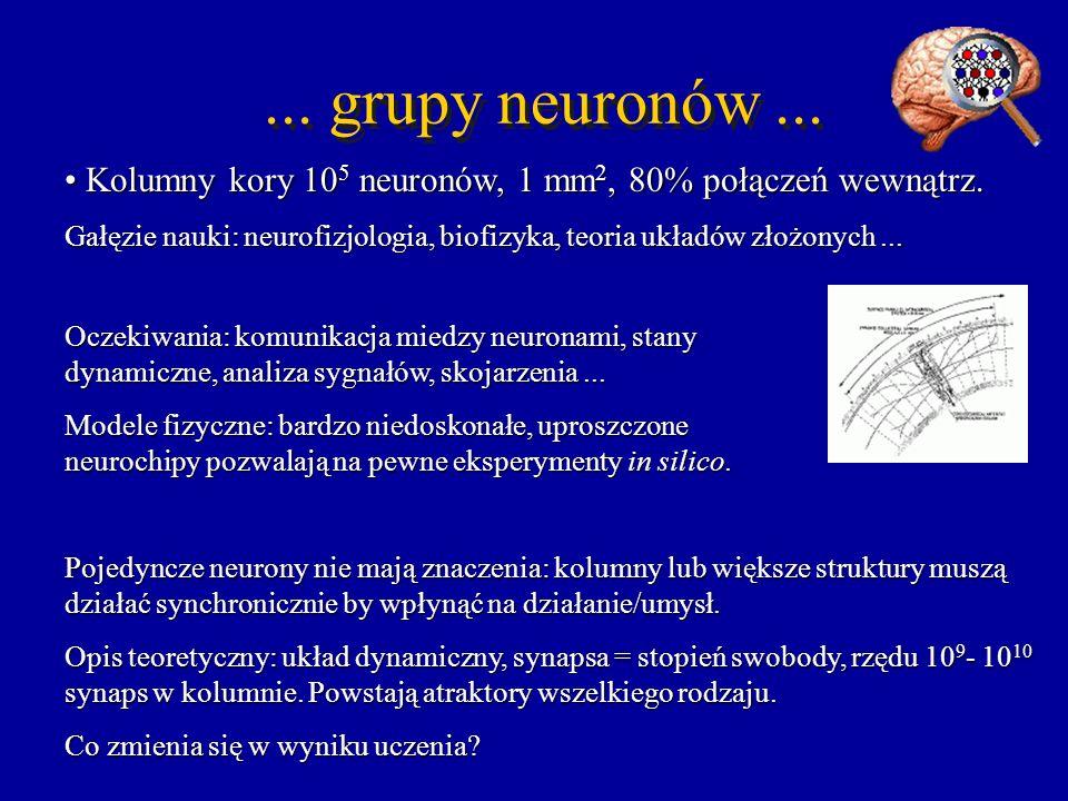 ... grupy neuronów... Kolumny kory 10 5 neuronów, 1 mm 2, 80% połączeń wewnątrz. Kolumny kory 10 5 neuronów, 1 mm 2, 80% połączeń wewnątrz. Gałęzie na