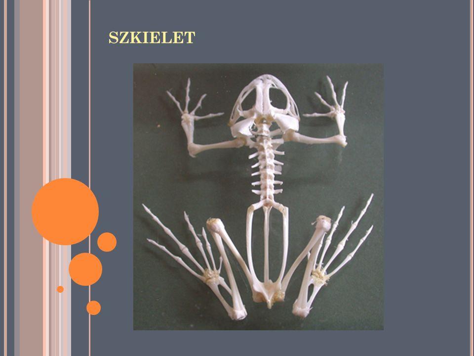 S ZKIELET O SIOWY w ażurowej czaszce znajdują się dwa kłykcie potyliczne (dają ruchome połączenie czaszki z kręgosłupem) końcowe łuki skrzelowe tworzą szkielet krtani część łuku gnykowo- żuchwowego przekształcona jest w strzemiączko wyróżniamy 4 odcinki kręgosłupa (szyjny, piersiowy, krzyżowy i ogonowy) atlas (dźwigacz) to pierwszy kręg szyjny urostyl (zrośnięte kręgi ogonowe u bezogonowych)