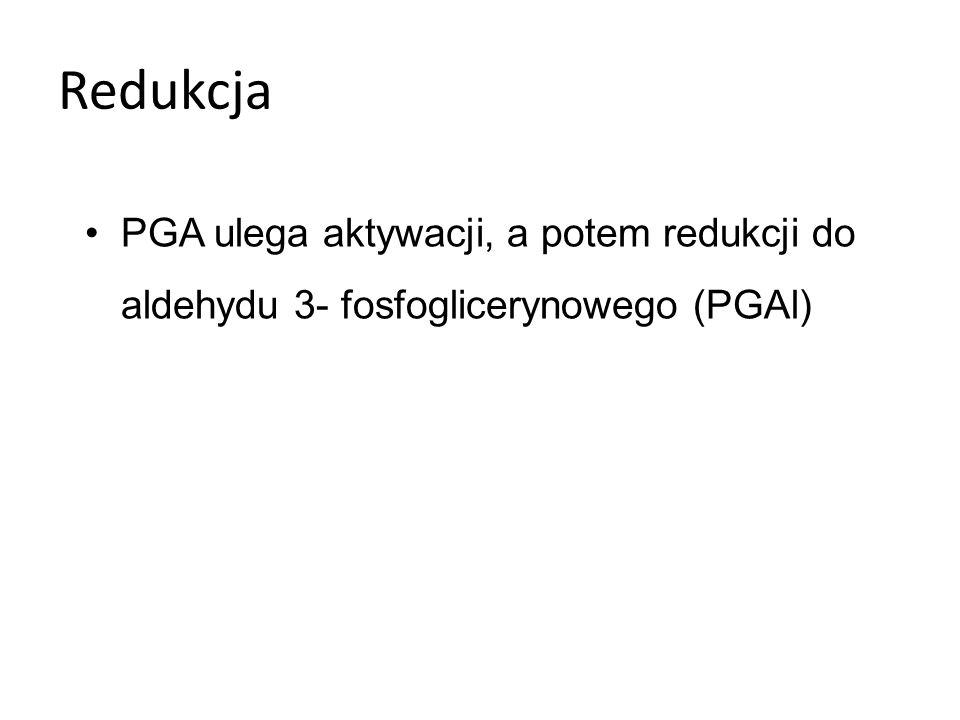 Regeneracja 5/6 cząsteczek PGAl zużywanych jest do odtworzenia RuBP 1/6 cząsteczek to zysk netto fotosyntezy.