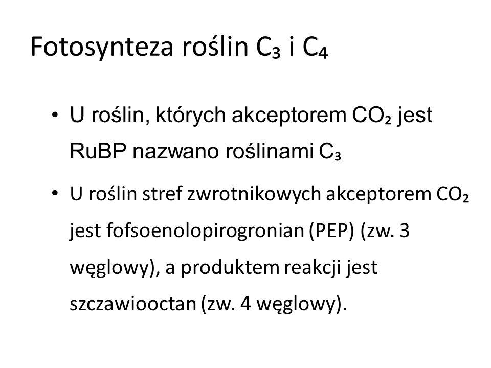 Rośliny C U roślin tych następuje dwustopniowe przyswajanie CO : –Wiązanie CO przez PEP- proces zachodzi w mezofilu liściowym (drobne chloroplasty): CO związany w kwas jabłkowy jest transportowany do chlorenchymy otaczającej wiązki przewodzące.
