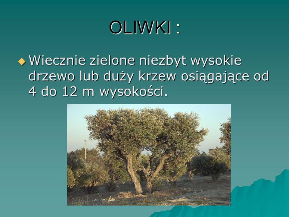 OLIWKI : Wiecznie zielone niezbyt wysokie drzewo lub duży krzew osiągające od 4 do 12 m wysokości. Wiecznie zielone niezbyt wysokie drzewo lub duży kr