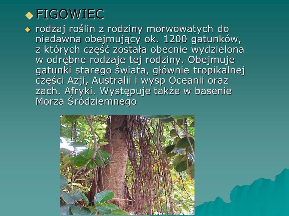 . FIGOWIEC FIGOWIEC rodzaj roślin z rodziny morwowatych do niedawna obejmujący ok. 1200 gatunków, z których część została obecnie wydzielona w odrębne