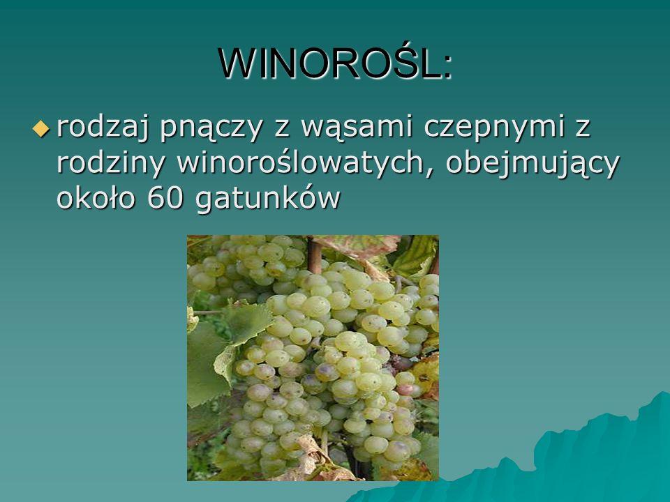WINOROŚL: rodzaj pnączy z wąsami czepnymi z rodziny winoroślowatych, obejmujący około 60 gatunków rodzaj pnączy z wąsami czepnymi z rodziny winoroślow