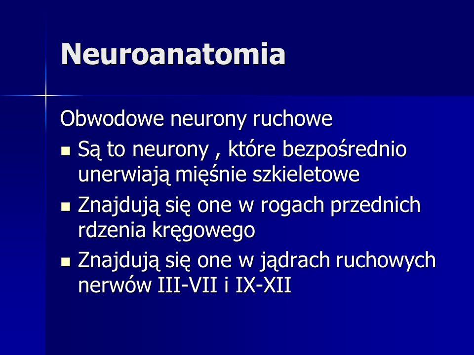 Neuroanatomia Obwodowe neurony ruchowe Są to neurony, które bezpośrednio unerwiają mięśnie szkieletowe Są to neurony, które bezpośrednio unerwiają mię