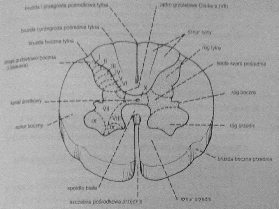 odruch Meyera : odruch Meyera : –odruch z grupy odruchów podstawowych –przywiedzenie i wyprostowanie kciuka podczas silnego zgięcia w stawie podstawowym III, lub IV palca ręki –obusronny brak może być fizjologiczny –jednostronny brak : uszkodzenie drogi korowo – rdzeniowej uszkodzenie drogi korowo – rdzeniowej odruch chwytny : odruch chwytny : –występuje jednostronnie w przypadku guza płata czołowego –przeciwstronnie do uszkodzenia –chory mimowolnie chwyta przedmiot, który mu się wsadzi do ręki –usunięcie przedmiotu napotyka trudności –chory sam nie może czynnie wypuścić przedmiotu zmiany patologiczne : zmiany patologiczne : –żywe i wygórowane odruchy : w zespole piramidowym w zespole piramidowym –osłabienie, lub zniesienie odruchów : ogólne : neuropatia obwodowa zespół móżdżkowy zespół móżdżkowy odosobnione : uszkodzenie obwodowego neuronu ruchowego –anizorefleksja = asymetria odruchów –odruch odwrócony (paradoksalny) : odruch w danym miejscu jest zniesiony, lecz zarazem przeniesiony na niższy poziom poziom zniesionego odruchu odpowiada miejscu zmian chorobowych np.