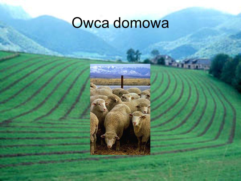 Podstawowe informacje Owca domowa (Ovis aries L.)- gatunek hodowlanego zwierzęcia domowego z rodziny krętorogich.