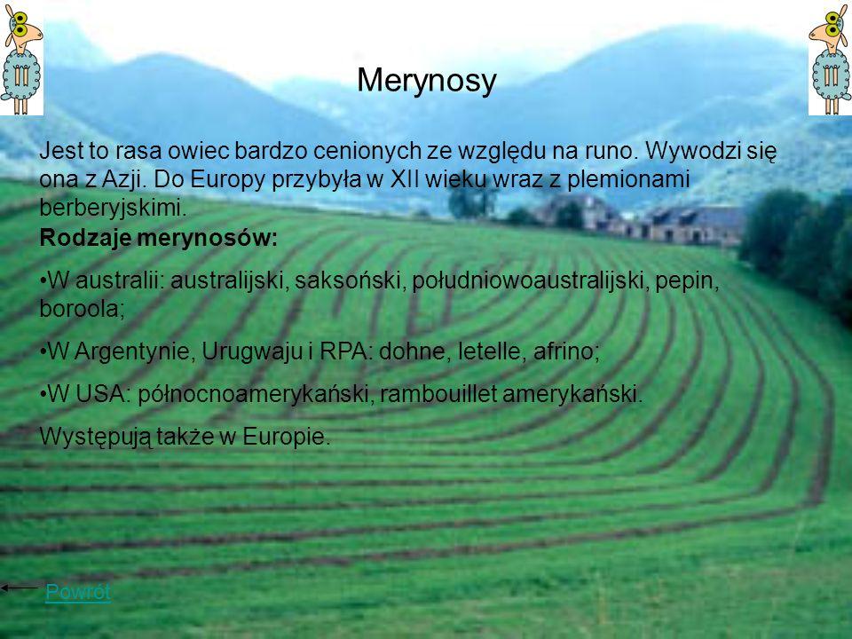 Merynosy Jest to rasa owiec bardzo cenionych ze względu na runo. Wywodzi się ona z Azji. Do Europy przybyła w XII wieku wraz z plemionami berberyjskim