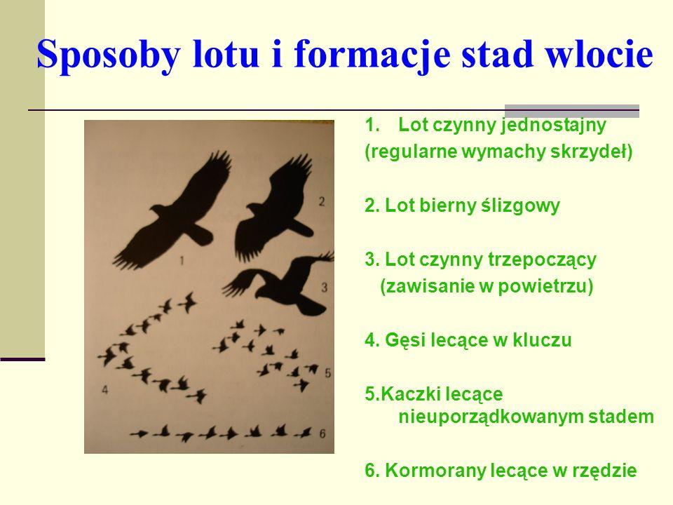 Sposoby lotu i formacje stad wlocie 1.Lot czynny jednostajny (regularne wymachy skrzydeł) 2. Lot bierny ślizgowy 3. Lot czynny trzepoczący (zawisanie