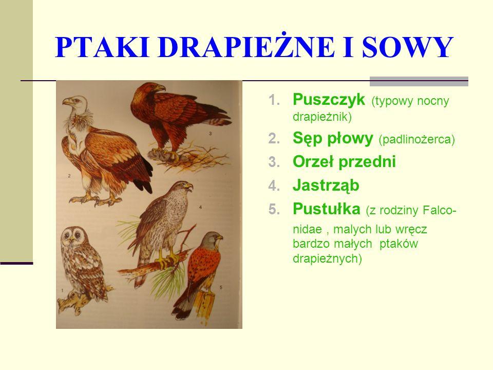 PTAKI DRAPIEŻNE I SOWY 1. Puszczyk (typowy nocny drapieżnik) 2. Sęp płowy (padlinożerca) 3. Orzeł przedni 4. Jastrząb 5. Pustułka (z rodziny Falco- ni