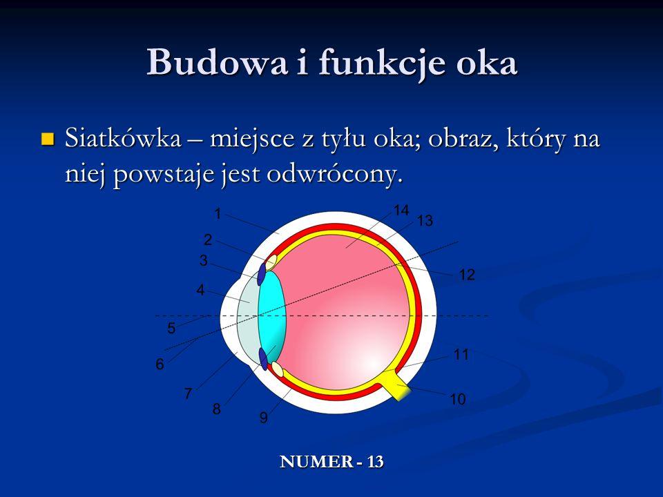 Budowa i funkcje oka Siatkówka – miejsce z tyłu oka; obraz, który na niej powstaje jest odwrócony. Siatkówka – miejsce z tyłu oka; obraz, który na nie