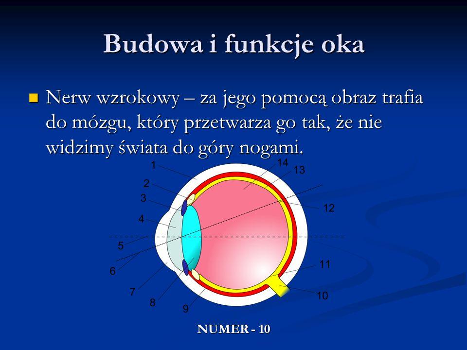 Budowa i funkcje oka Nerw wzrokowy – za jego pomocą obraz trafia do mózgu, który przetwarza go tak, że nie widzimy świata do góry nogami. Nerw wzrokow