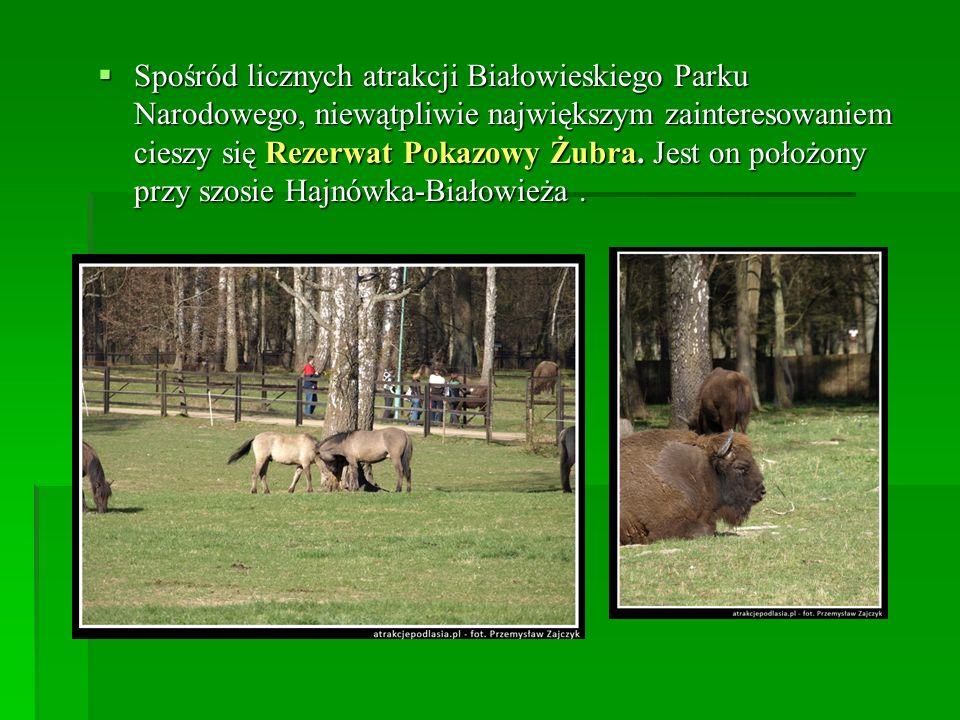 Spośród licznych atrakcji Białowieskiego Parku Narodowego, niewątpliwie największym zainteresowaniem cieszy się Rezerwat Pokazowy Żubra. Jest on położ