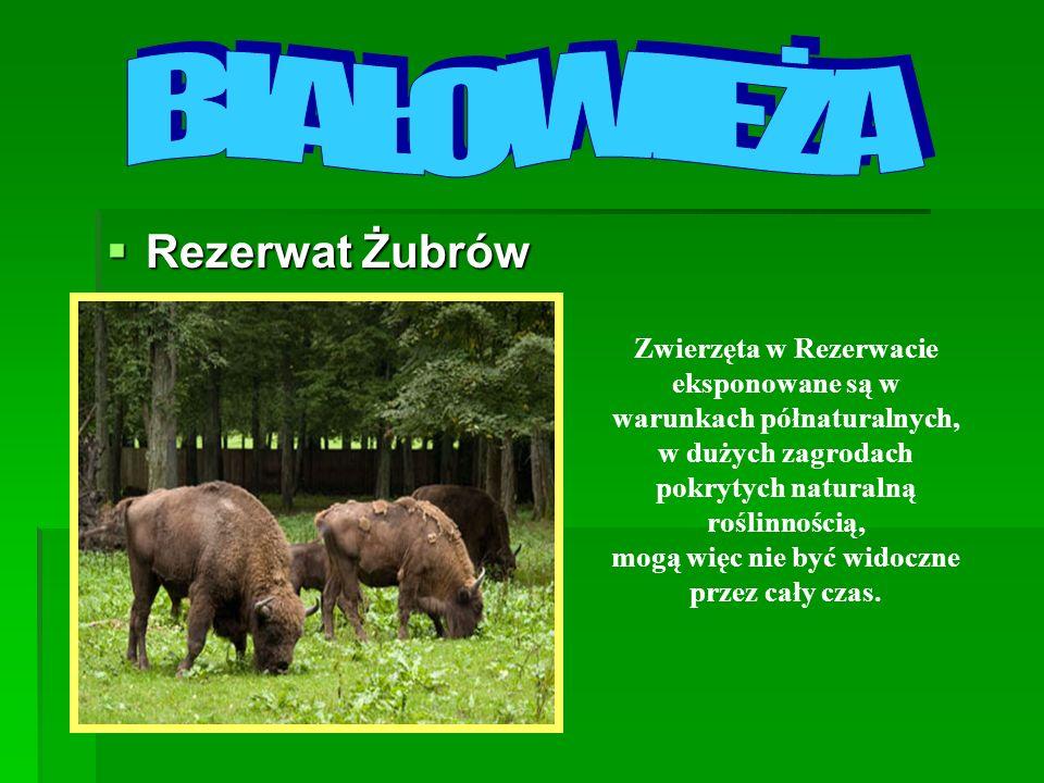 Rezerwat Żubrów Rezerwat Żubrów Zwierzęta w Rezerwacie eksponowane są w warunkach półnaturalnych, w dużych zagrodach pokrytych naturalną roślinnością,