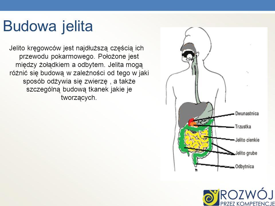 Budowa jelita Jelito kręgowców jest najdłuższą częścią ich przewodu pokarmowego. Położone jest między żołądkiem a odbytem. Jelita mogą różnić się budo