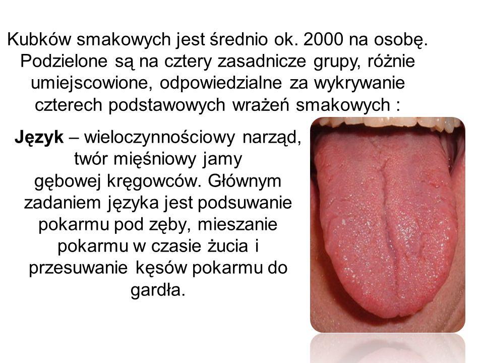 Język – wieloczynnościowy narząd, twór mięśniowy jamy gębowej kręgowców. Głównym zadaniem języka jest podsuwanie pokarmu pod zęby, mieszanie pokarmu w