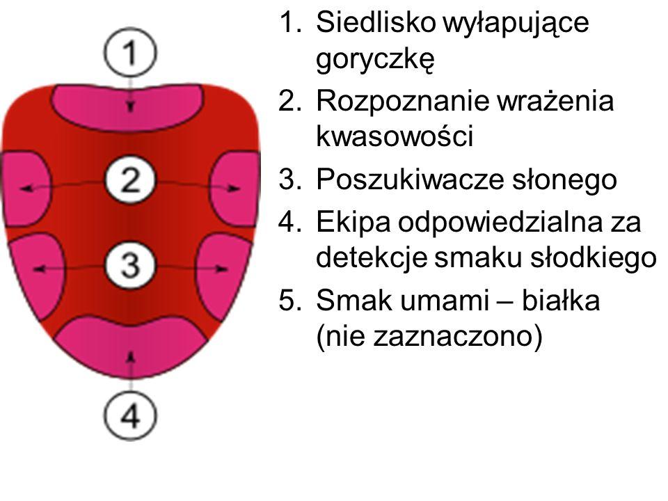 1.Siedlisko wyłapujące goryczkę 2.Rozpoznanie wrażenia kwasowości 3.Poszukiwacze słonego 4.Ekipa odpowiedzialna za detekcje smaku słodkiego 5.Smak uma