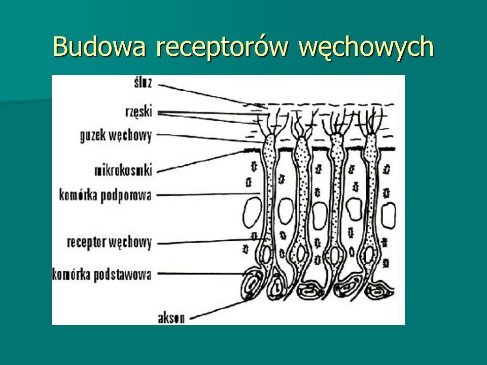Budowa receptorów węchowych
