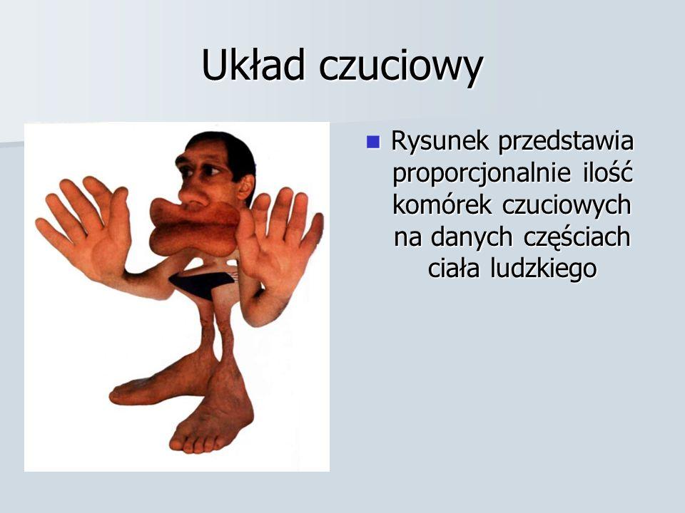 Układ czuciowy Rysunek przedstawia proporcjonalnie ilość komórek czuciowych na danych częściach ciała ludzkiego Rysunek przedstawia proporcjonalnie il