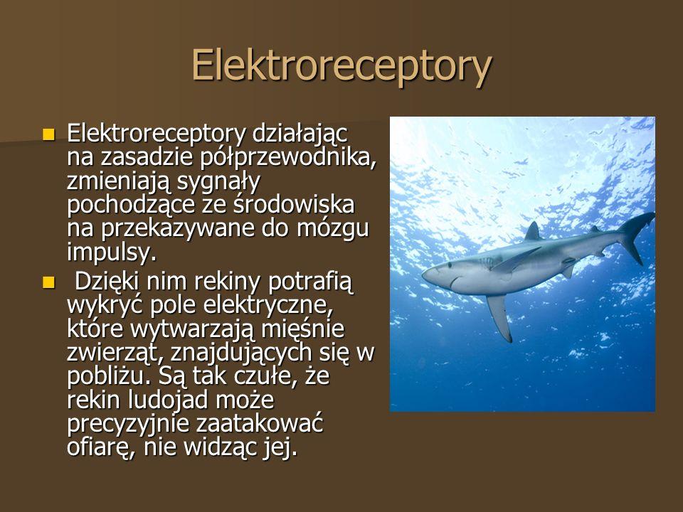 Elektroreceptory Elektroreceptory działając na zasadzie półprzewodnika, zmieniają sygnały pochodzące ze środowiska na przekazywane do mózgu impulsy. E