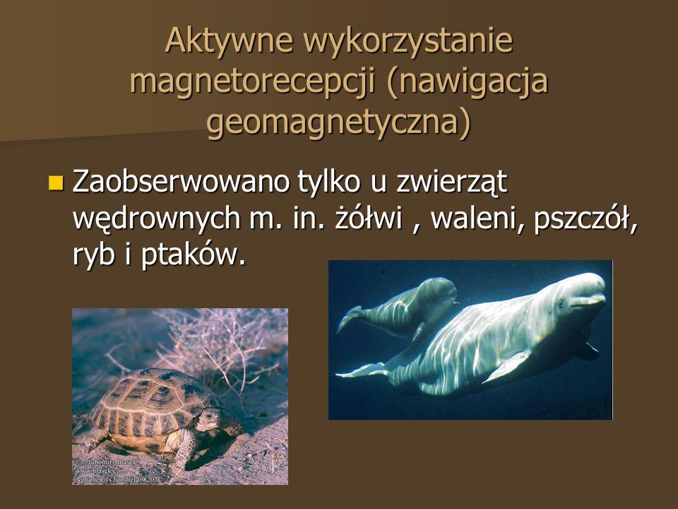 Aktywne wykorzystanie magnetorecepcji (nawigacja geomagnetyczna) Zaobserwowano tylko u zwierząt wędrownych m. in. żółwi, waleni, pszczół, ryb i ptaków