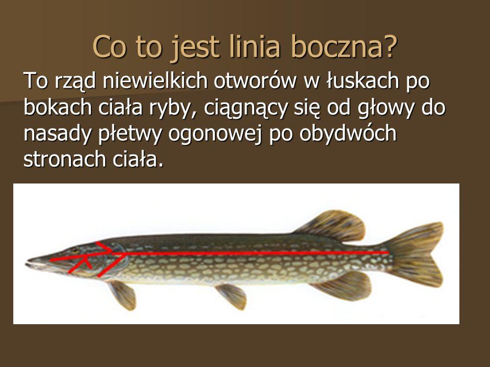 Co to jest linia boczna? To rząd niewielkich otworów w łuskach po bokach ciała ryby, ciągnący się od głowy do nasady płetwy ogonowej po obydwóch stron