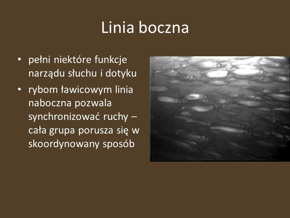 Linia boczna pełni niektóre funkcje narządu słuchu i dotyku rybom ławicowym linia naboczna pozwala synchronizować ruchy – cała grupa porusza się w sko