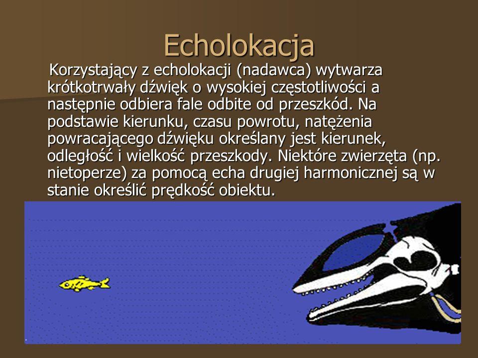 Echolokacja Korzystający z echolokacji (nadawca) wytwarza krótkotrwały dźwięk o wysokiej częstotliwości a następnie odbiera fale odbite od przeszkód.