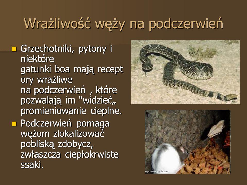 Wrażliwość węży na podczerwień Grzechotniki, pytony i niektóre gatunki boa mają recept ory wrażliwe na podczerwień, które pozwalają im