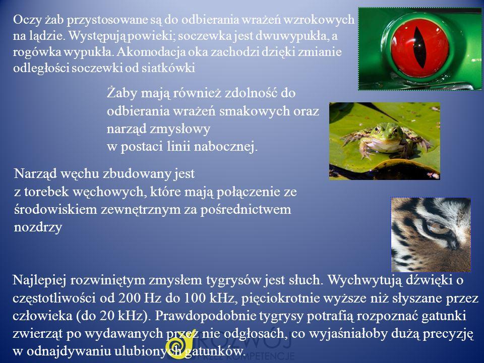 Oczy żab przystosowane są do odbierania wrażeń wzrokowych na lądzie. Występują powieki; soczewka jest dwuwypukła, a rogówka wypukła. Akomodacja oka za