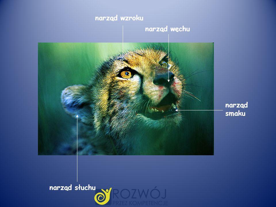 narząd wzroku narząd smaku narząd słuchu narząd węchu