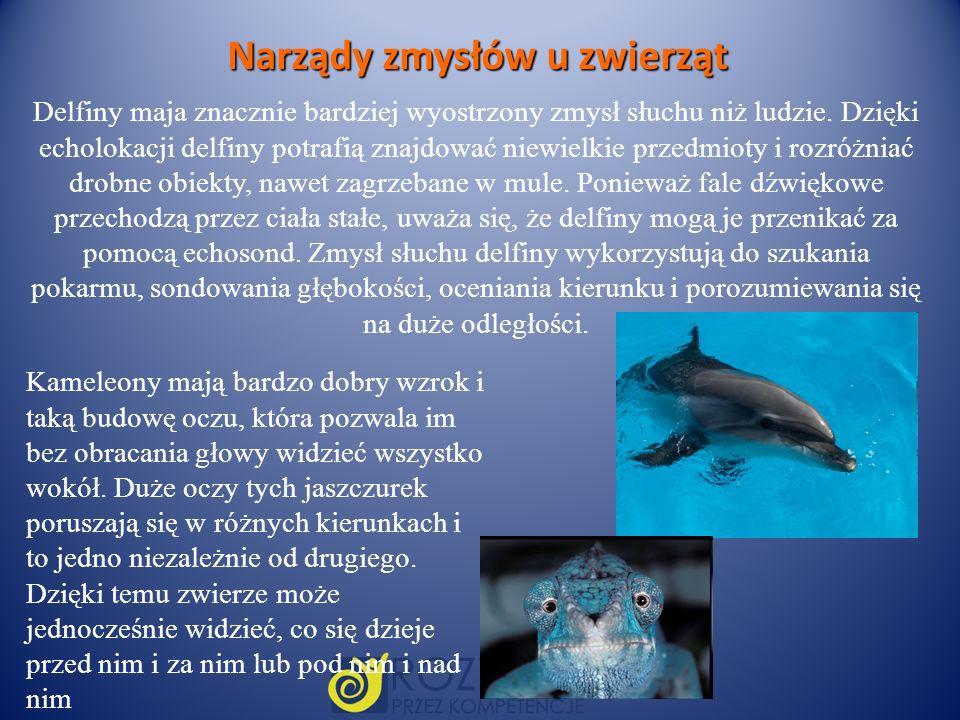 Narządy zmysłów u zwierząt Delfiny maja znacznie bardziej wyostrzony zmysł słuchu niż ludzie. Dzięki echolokacji delfiny potrafią znajdować niewielkie