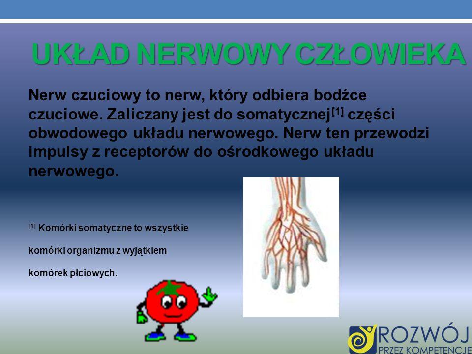 UKŁAD NERWOWY CZŁOWIEKA Nerw czuciowy to nerw, który odbiera bodźce czuciowe. Zaliczany jest do somatycznej [1] części obwodowego układu nerwowego. Ne