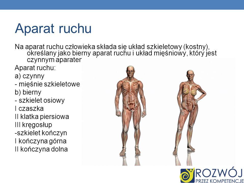 Aparat ruchu Na aparat ruchu człowieka składa się układ szkieletowy (kostny), określany jako bierny aparat ruchu i układ mięśniowy, który jest czynnym