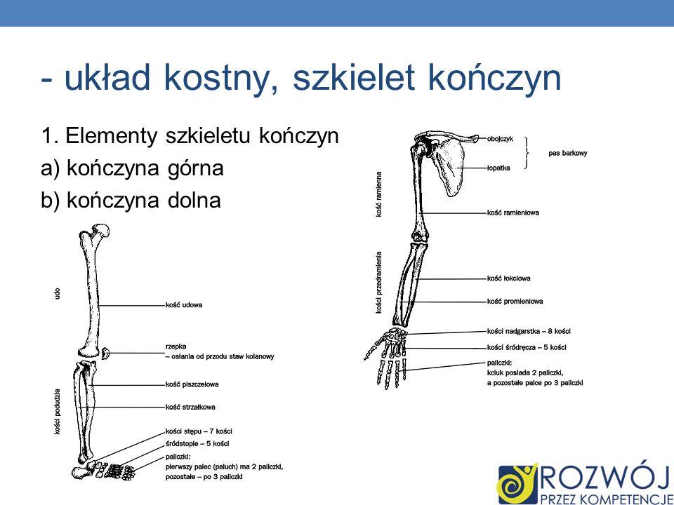- układ kostny, szkielet kończyn 1. Elementy szkieletu kończyn a) kończyna górna b) kończyna dolna