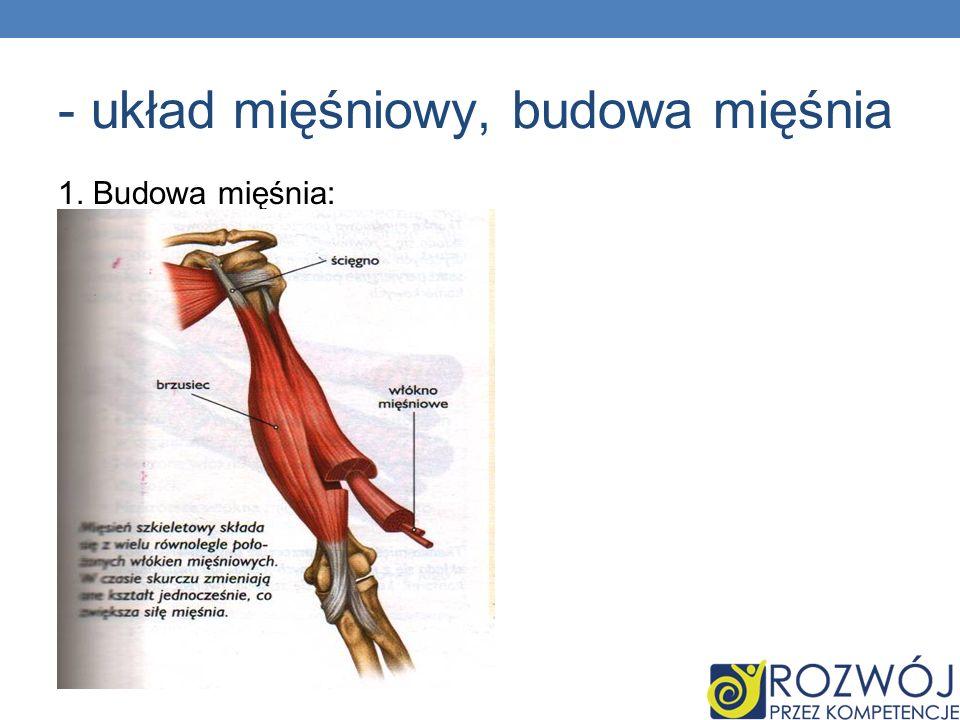 - układ mięśniowy, budowa mięśnia 1. Budowa mięśnia: