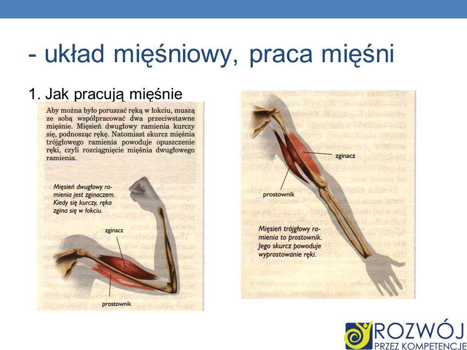 - układ mięśniowy, praca mięśni 1. Jak pracują mięśnie
