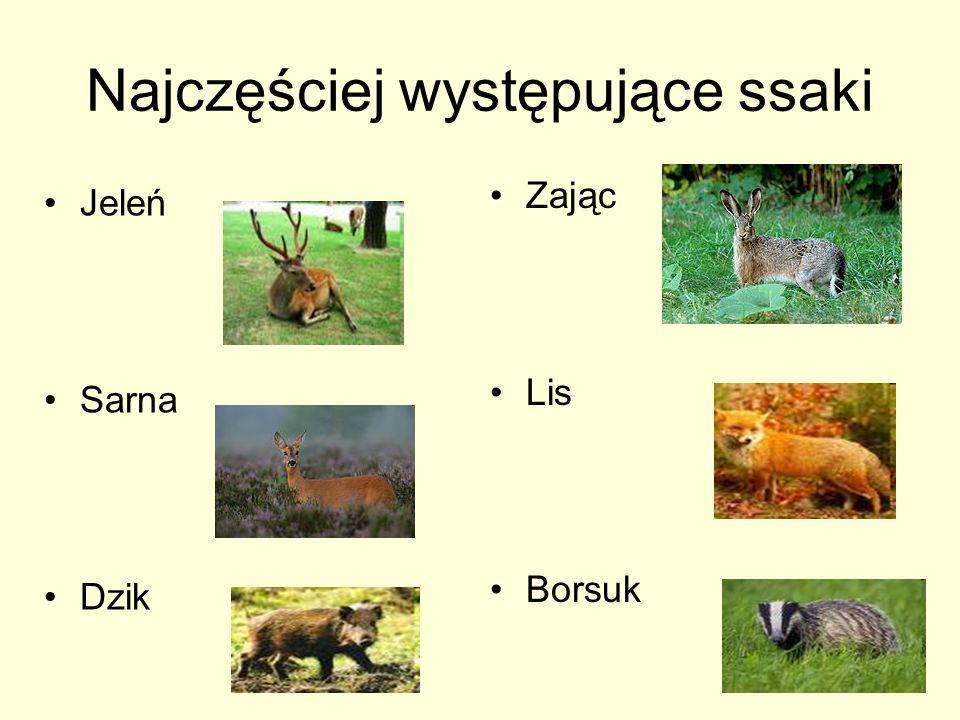 Najczęściej występujące ssaki Jeleń Sarna Dzik Zając Lis Borsuk