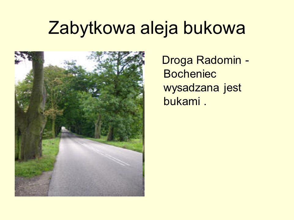 Zabytkowa aleja bukowa Droga Radomin - Bocheniec wysadzana jest bukami.