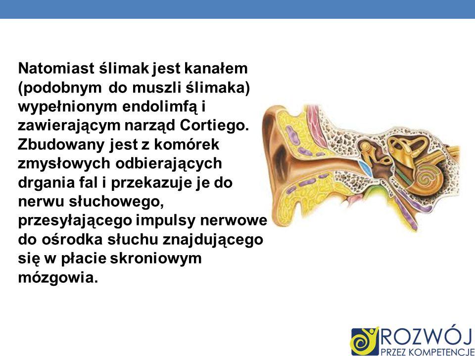 Natomiast ślimak jest kanałem (podobnym do muszli ślimaka) wypełnionym endolimfą i zawierającym narząd Cortiego. Zbudowany jest z komórek zmysłowych o