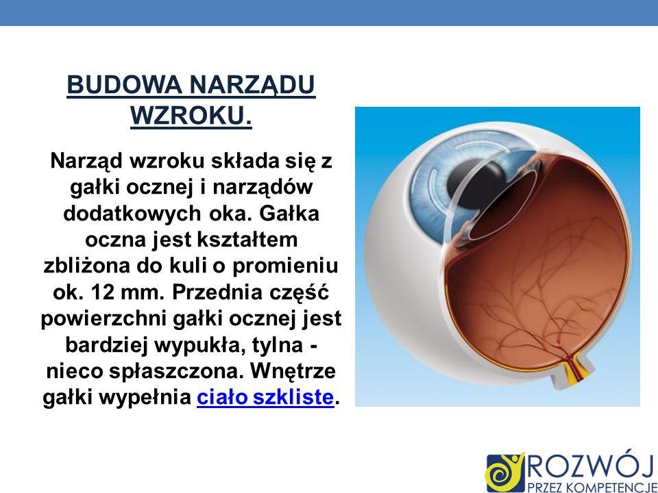 BUDOWA NARZĄDU WZROKU. Narząd wzroku składa się z gałki ocznej i narządów dodatkowych oka. Gałka oczna jest kształtem zbliżona do kuli o promieniu ok.