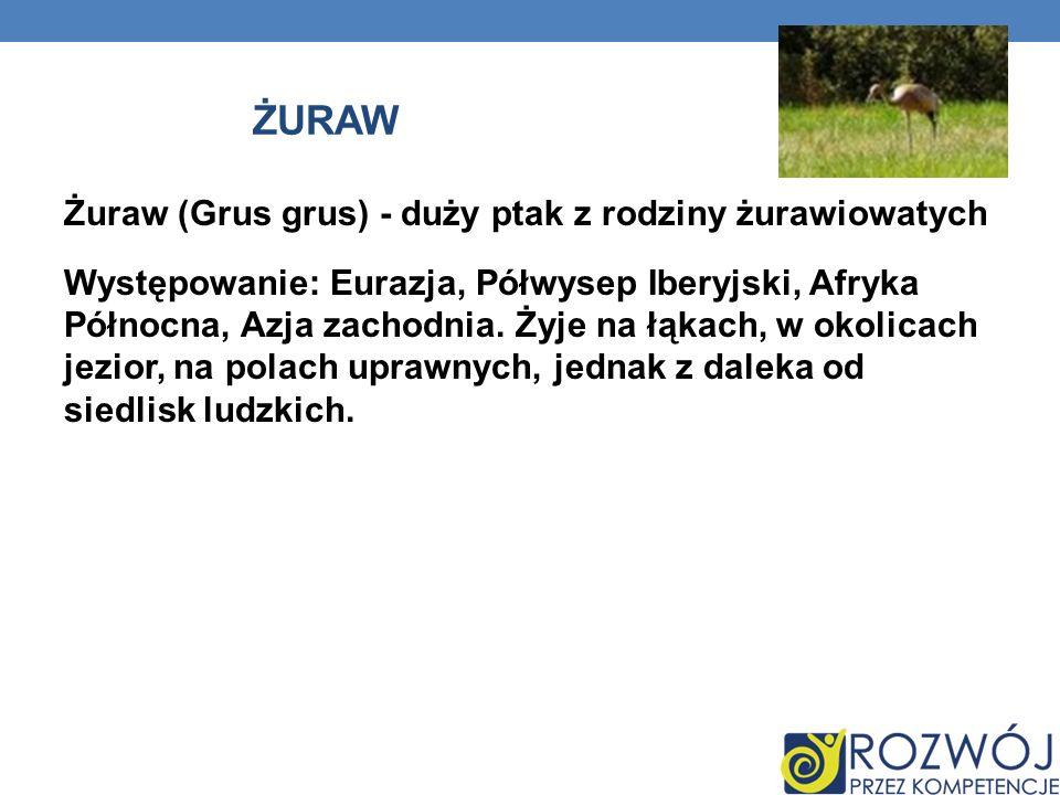 ŻURAW Żuraw (Grus grus) - duży ptak z rodziny żurawiowatych Występowanie: Eurazja, Półwysep Iberyjski, Afryka Północna, Azja zachodnia. Żyje na łąkach